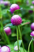 Shoopy Star Higro Mix Gomphrena Globe Amaranth