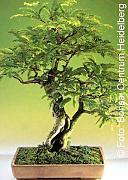 Stai cercando tropica bonsai lionshome for Glicine bonsai prezzo