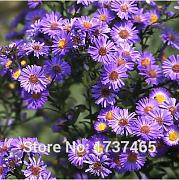 Virtue Reale 200pcs / lot New York Aster fiore