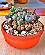 Vistaric 100 semi Lithops Pseudotruncatella Living